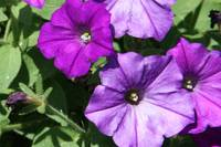 Purple Petunias horiz 2