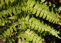 Fern Leaves macro 2