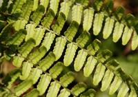 Fern Leaves macro