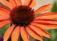 Orange Flower horiz macro