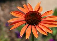 Orange Coneflower horiz
