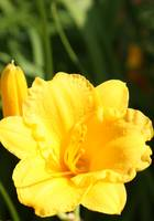 Yellow Daylily with Bud vert