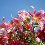 """Summer Lily Flowers art prints Floral Garden"" by BasleeTroutman"