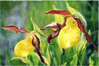 Yellow Lady's Slippers