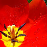 """Red Tulip art Print Tulips Flower Macro Spring"" by BasleeTroutman"