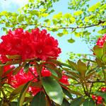 """""""Rhododendron Landscape Garden Red Rhodies"""" by BasleeTroutman"""