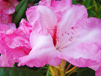Rhodies Floral art print gifts Pink Rhododendrons