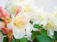 Purity White Pink Rhododendron Garden Flowers