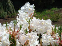 Rhododendrons Sunlit White Rhodies Landscape
