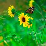 """""""Sunflower_butterfly"""" by wchild22"""