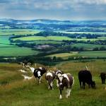 """Cattle on the South Downs"" by andy-coleman"