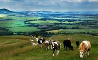Cattle on the South Downs