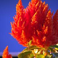 """Celosia"" by Rich Summers"