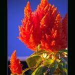 """Celosia Poster Print"" by rsummers"