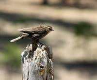 Female Red Winged Blackbird 1494