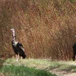 """Two Turkey"" by kayaker4ever"