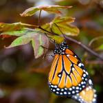 """""""Butterfly Show 21"""" by ChrisThompson"""