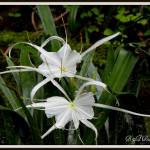 """Pair of Spider Lilies"" by BABowenphotography"