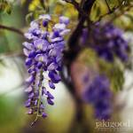 """wisteria blooms"" by jakigoodphotography"