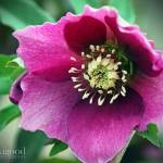 """lenten rose in magenta"" by jakigoodphotography"