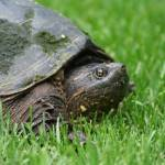 """Snapping Turtle"" by CarmenL"