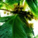 """coconut"" by rajartworks"