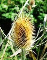 Tall Thistle Head