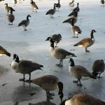 """Canada geese on Frozen Lake"" by Elenilou"