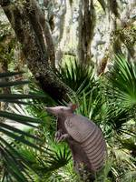 The Nine-banded Armadillo of Florida