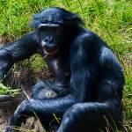 """Bonobo"" by johncorney"