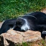 """Sunbathing Capuchin Monkey"" by johncorney"