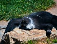 Sunbathing Capuchin Monkey