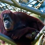 """Oranutang on Jungle-Gym"" by johncorney"