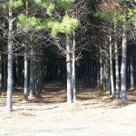 """Pine Soldiers"" by JeanDavisOlecki"