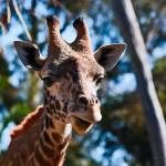 """Giraffe No 2"" by johncorney"
