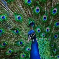"""Peacock with Tail Open"" by John Corney"