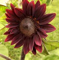Bronze Sunflower