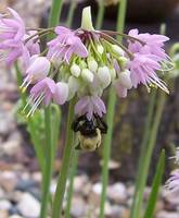 CHIVE BLOOM & BEE