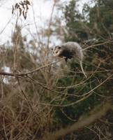 Opossum Up A Tree