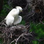 """Nesting Cattle Egret"" by marburg"