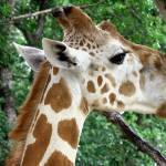 """Giraffe Licking Tree Bark"" by marburg"