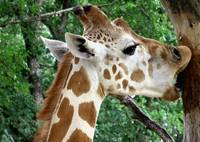 Giraffe Licking Tree Bark