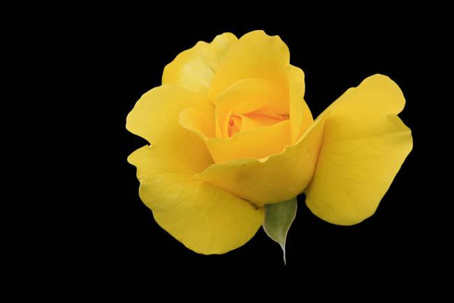 Single yellow rose on black background by Susan Leonard