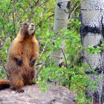 """Marmot"" by maj"