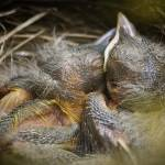 """baby birds"" by stevewalterphoto"