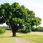 """""""Turkey Oak in Spring"""" by JohnGaffen"""