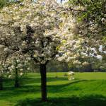 """""""Cherry Blossom Time!"""" by JohnGaffen"""