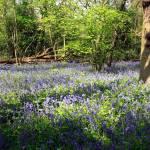 """""""Beckenham Bluebells"""" by JohnGaffen"""