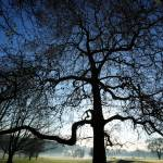 """London Plane Tree Silhouette"" by JohnGaffen"