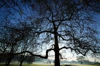 London Plane Tree Silhouette